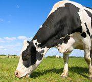 Du lait de foin ? Des vaches dans les prés qui mangent de l'herbe ? Ça existe.